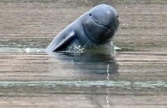 irawaddyi - пресноводный дельфин