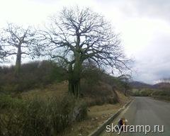 Слоновое дерево в Лоха